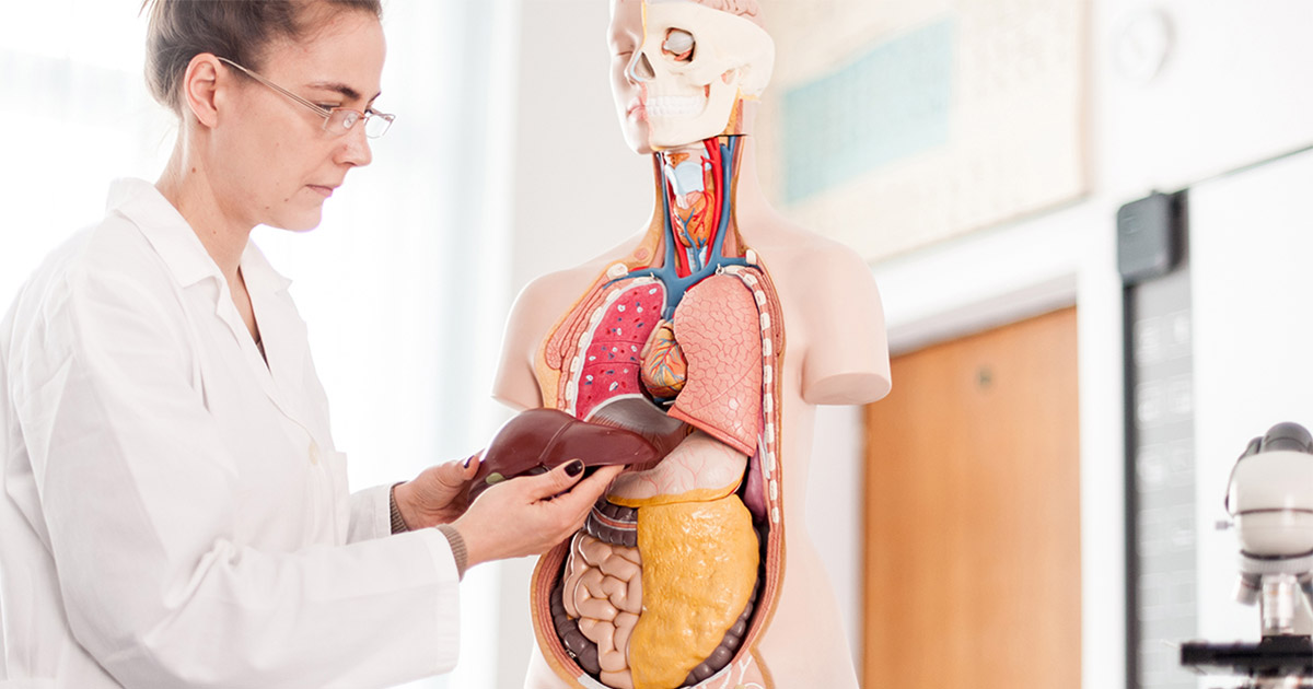Woman handling a model of a liver